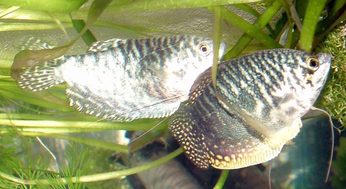 Index of /images/fish/Gouramis-breeding